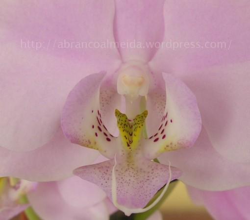 orquidea chinesa, 20080913