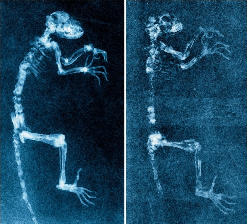 Darwinius_radiographs_cropped