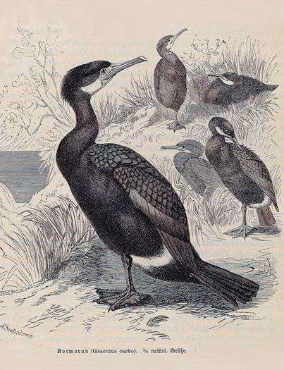 Flightless cormorant (Phalacrocorax harrisi)