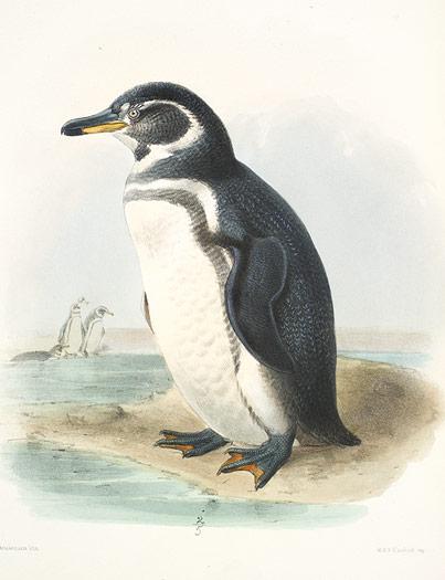 Galapágos penguin (Spheniscus mendiculus)