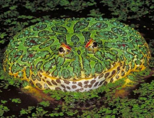 ornate-horned-frog-ceratophrys-ornata