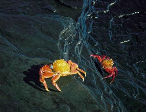 Sally Lightfoot crabs (a.k.a. red lava crabs) (Grapsus grapsus)