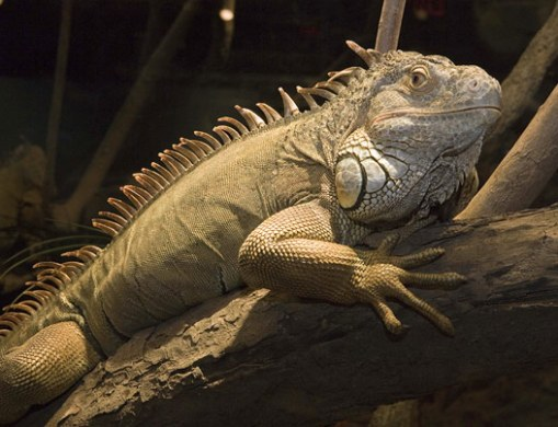 The green, or tree, iguana (Iguana iguana) from South America