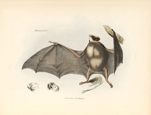Vampire bat (Desmodus D'Orbigny), from The Voyage Of The Beagle