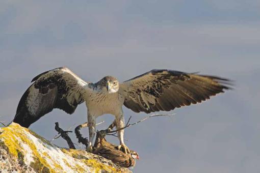águia-de-bonelli